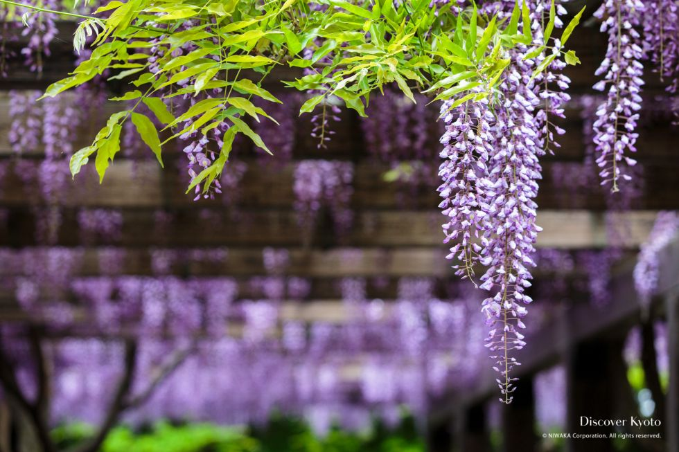 Wisteria Flower Season Toba Layer
