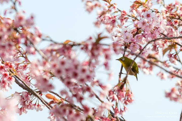 Sakura Mejiro Bird Cherry Blossom