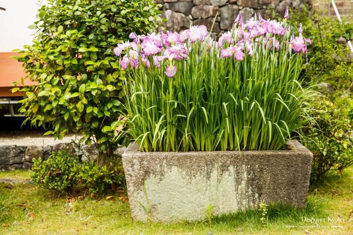Iris Flower Season Mimuroto-ji Basin