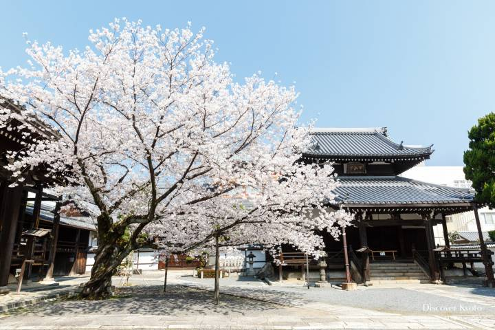 Honpō-ji Sakura Full Bloom