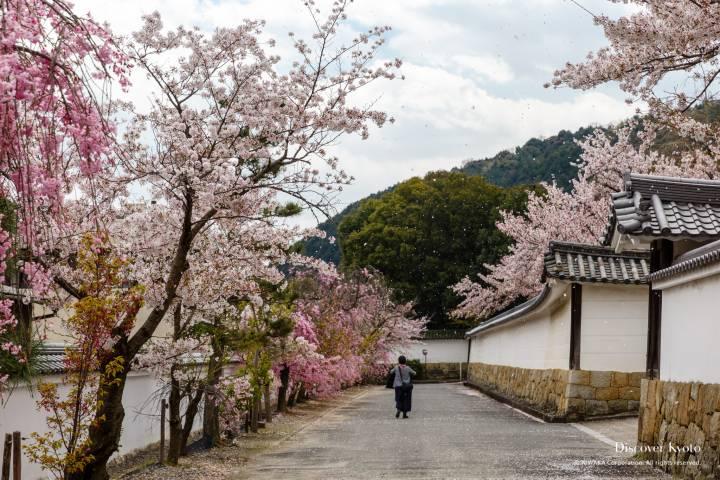Kajū-ji Temple Cherry Blossoms Sakura Wall