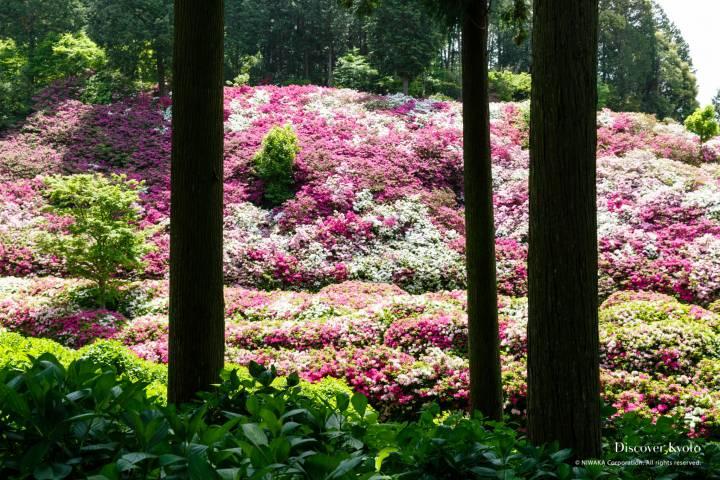 Mimuroto-ji Azalea Tall Pine