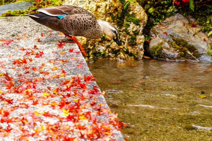 A female mallard in a stream at Murin-an temple.