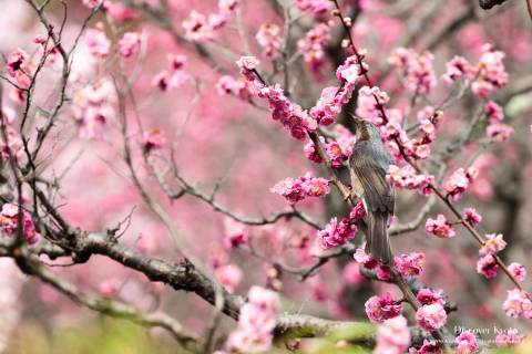 Brown-eared Bulbul in the plums at Zuishin-in temple.