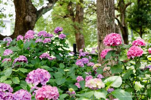 Hydrangea garden during the Ajisai festival at Fujinomori shrine.