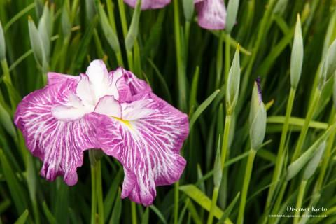 Iris Flower Season Mimuroto-ji Purple