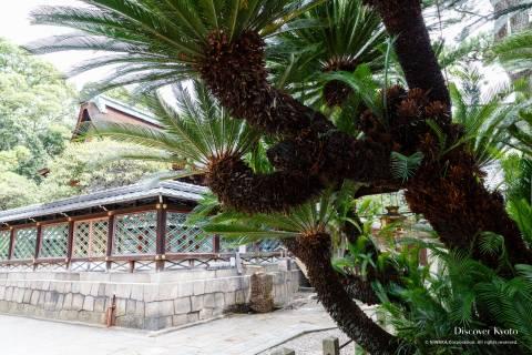 Gokonomiya Sotetsu Palm Sago