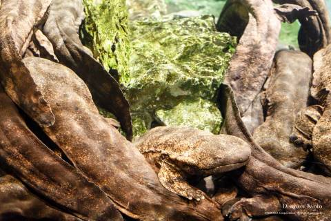 Kyoto Aquarium Giant Salamander