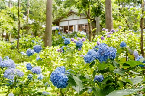 Hydrangea Flower Season Sanzen-in Garden