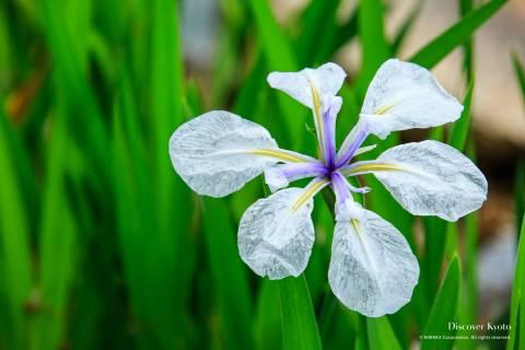 Iris Flower Season Kaju-ji Petal