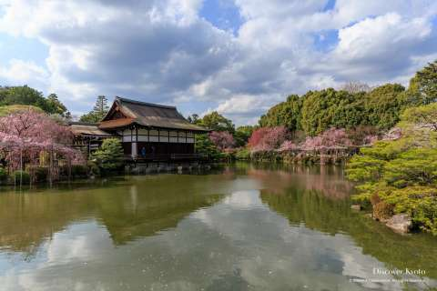 Cherry blossoms and pond in the Shin'en garden at Heian Shrine.