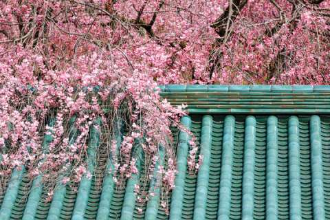 Sakura blooming over the green roof