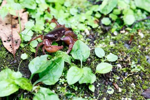 Tanukidani-san Fudō-in Crab