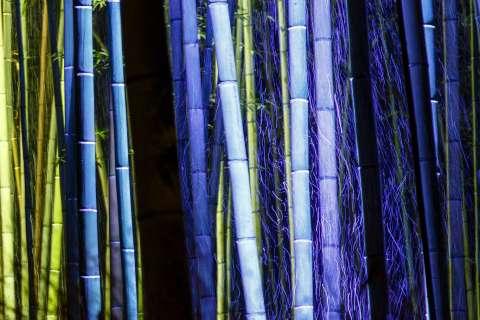 Lights illuminate the bamboo forest at night during the Arashiyama Hanatouro at Arashiyama.