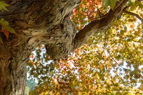 Ōharano Shrine Trunk Leaves