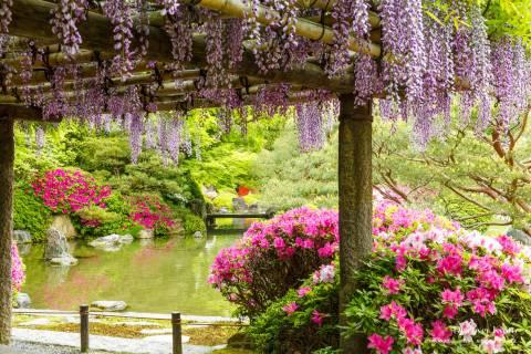 Wisteria Flower Season Jonangu Garden