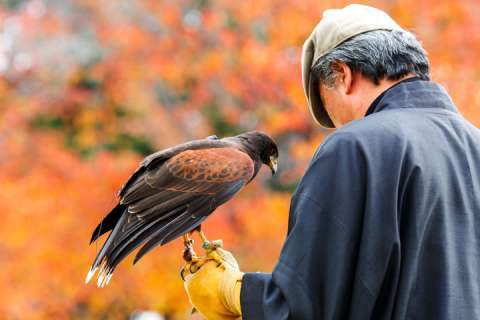 Falconry in Nijo Castle