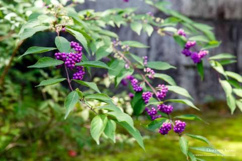 Rozan-ji Murasaki Shikibu Beautyberry