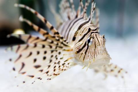 Kyoto Aquarium Luna Lionfish