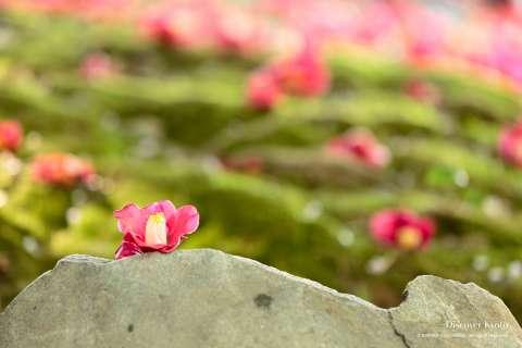 Camellia flowers at Jōnangū shrine.