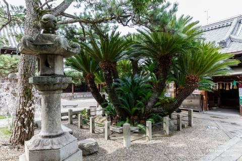 Gokonomiya Shrine Sago Palm History