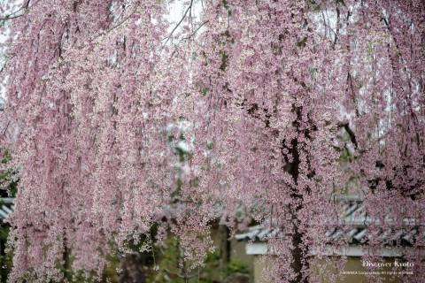 Kōdai-ji Temple Cherry Blossoms Sakura Pink