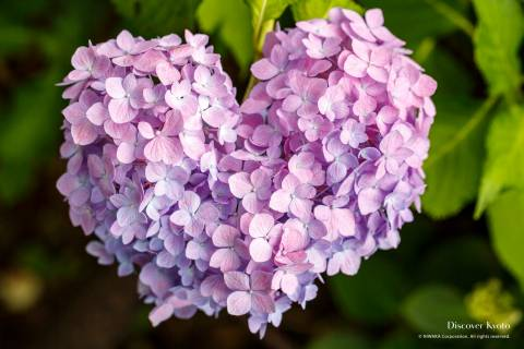 Hydrangea Flower Season Mimumroto-ji Heart