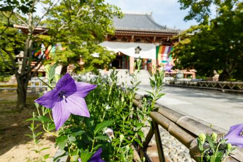 Chishaku-in Temple Kikyo Flower