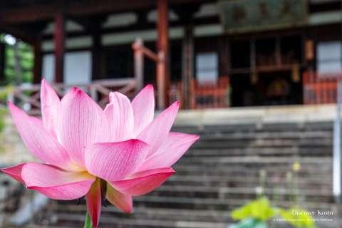 Lotus flower at Manpuku-ji temple.