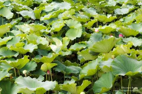 Lotus pond at Manpuku-ji temple.
