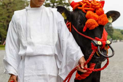 An ox participates in Aoi Matsuri at the Kamo Shrines.