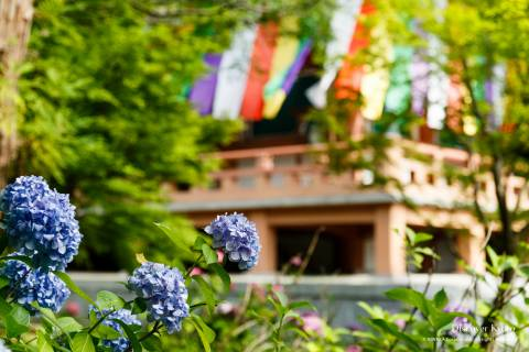 Chishaku-in Temple Ajisai Flower