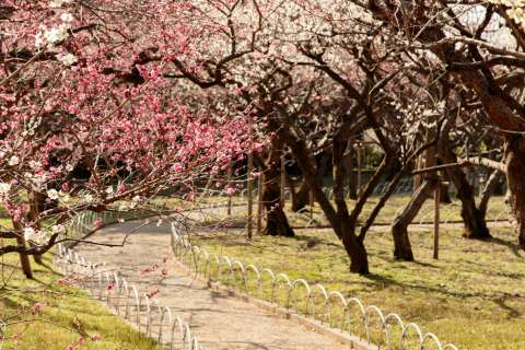 Path through a plum blossom garden at Kitano Tenmangū shrine.