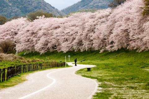 Sewari-tei Cherry Blossoms Sakura