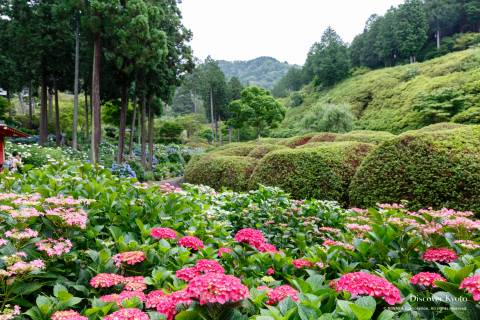 Hydrangea Flower Season Mimumroto-ji Azalea