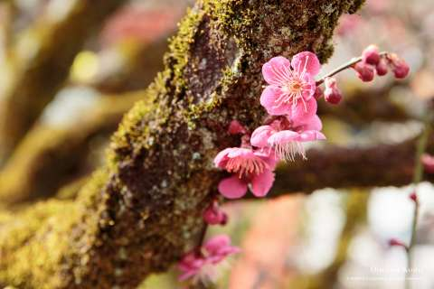 Plum blossoms on a mossy tree branch at Shimogamo shrine.