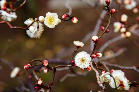 Plum blossoms at Kitano Tenmangū