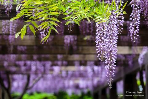 Wisteria Flower Season Toba Layer
