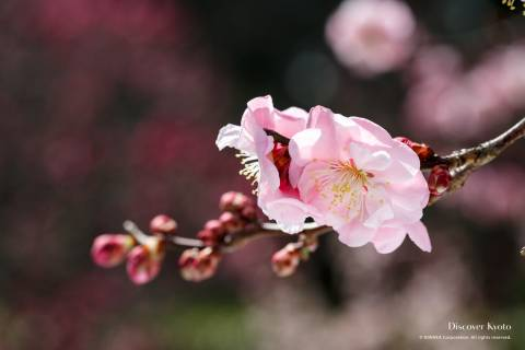 Light pink plum blossoms at Zuishin-in temple.