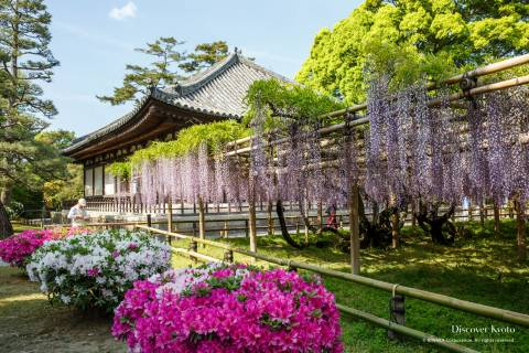 Wisteria blooming in April or May at Byōdō-in.