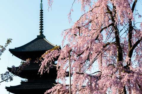 Weeping cherry blossom tree at Tō-ji.