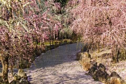 Path and weeping plum trees at Jōnangū shrine.