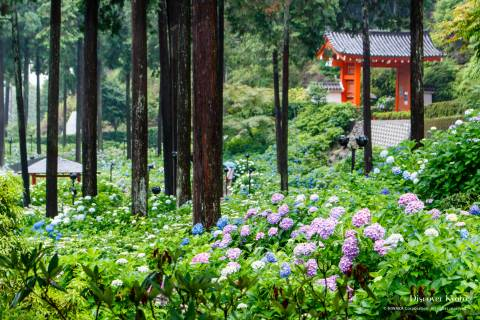 Hydrangea Flower Season Mimumroto-ji Garden