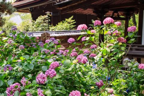 Hydrangea Flower Season Fujinomori Garden