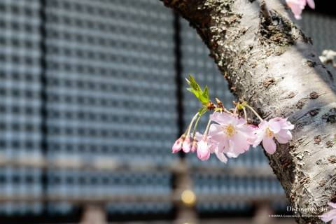 Kajū-ji Temple Cherry Blossoms Sakura Babies