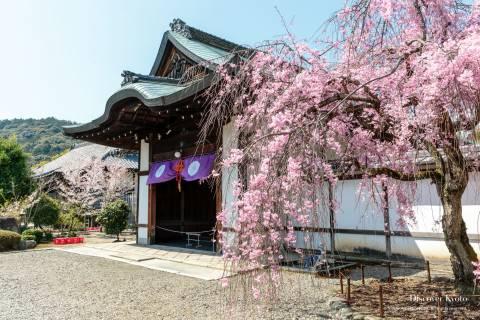 Kajū-ji Temple Cherry Blossoms Sakura Weeping