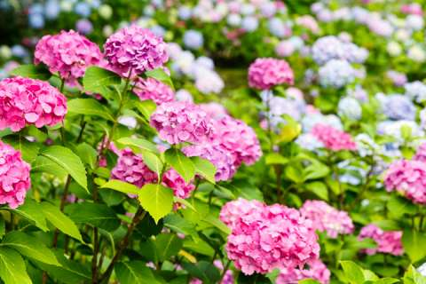Hydrangea bloom in the Fujinomori Shrine gardens
