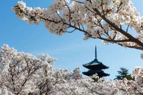 The pagoda through cherry blossoms at Ninna-ji.