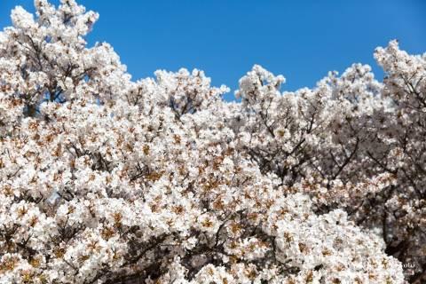 Cherry blossoms at Ninna-ji.