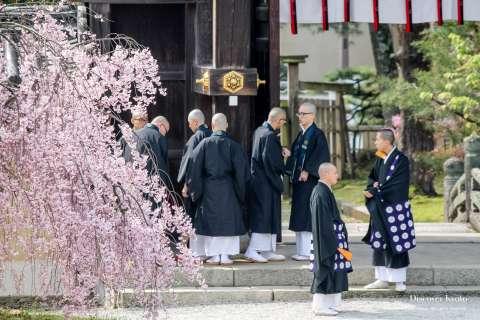 Weeping cherry blossom in bloom during the 2015 Kadō Matsuri at Daikaku-ji.